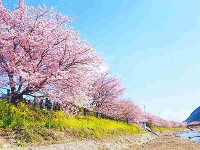 形容樱花盛开的优美句子